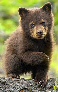 Black bear (Ursus americanus) young cub portrait, Yellowstone National Park, Wyoming, USA  -  George Sanker