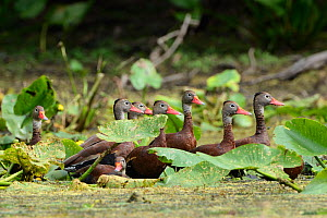 Black bellied whistling ducks (Dendrocygna autumnalis) group amongst aquatic vegetation, Hillsborough River, Florida, USA, April  -  George Sanker