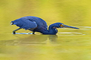 Tricolored heron (Egretta tricolor) hunting in water, Everglades National Park, Florida, USA, March  -  George Sanker