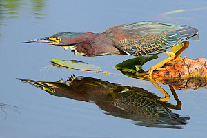 Green heron (Butorides virescens) watching for fish, Everglades National Park, Florida, USA, March  -  George Sanker