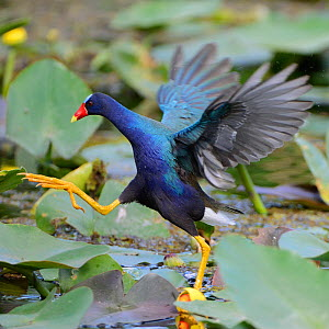Purple gallinule (Porphyrio martinica) moving across waterlily covered surface, Everglades National Park, Florida, USA, March - George Sanker