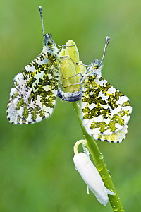 Orange-tip butterflies (Anthocharis cardamines) mating on flower bud of white bluebell in garden, Somerset, UK, April 2012 - John Waters