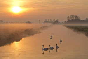 Swans (Cygnus sp) on a large water channel at sunrise with mist on the low lying pastures of Tadham Moor, Somerset Levels, Somerset, UK, March 2012  -  John Waters
