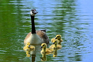 Canada goose (Branta canadensis) swimming with goslings in lake, Belgium, May  -  Philippe Clement