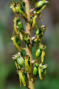 Common Twayblade orchid (Neottia ovata) in flower, Pyrenees, France, June  -  Philippe Clement
