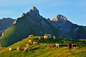Domestic cows (Bos taurus) and free roaming horses grazing in the Pyrenees-Atlantiques, Pyrenees, France, June  -  Philippe Clement