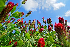 Crimson clover (Trifolium incarnatum) low angle view of field cultivated as fodder, La Brenne, France  -  Philippe Clement