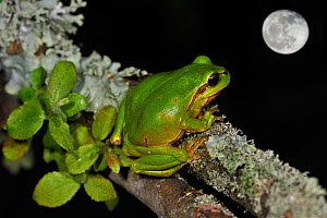 Common tree frog (Hyla arborea) sitting on branch covered in lichen at night with full moon, La Brenne, France, May. Digital composite  -  Philippe Clement