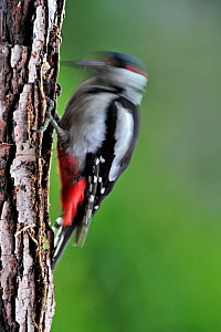 Great Spotted Woodpecker (Dendrocopos major) male drumming on tree trunk in forest, Belgium, July  -  Philippe Clement