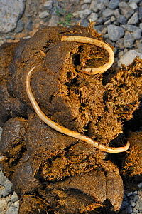 Horse / Equine roundworms (Parascaris equorum) in horse dung, France  -  Philippe Clement