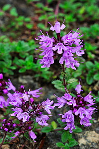 Broad leaved thyme (Thymus pulegioides) in flower, Ardennes, Belgium, July  -  Philippe Clement