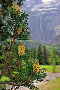 Mugo / Mountain pine (Pinus mugo) showing needles and male flowers, Cirque de Gavarnie, Pyrenees, France, June  -  Philippe Clement