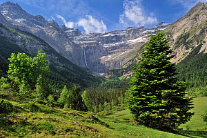 Mugo pine (Pinus mugo) in the Cirque de Gavarnie and the Gavarnie Falls / Grande Cascade de Gavarnie, highest waterfall of France in the Pyrenees, June 2012  -  Philippe Clement
