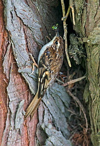 Common treecreeper (Certhia familiaris) on the trunk of a pine tree taking food in to feed chicks at the nest site, Ravenwood NR, Wexford, Ireland, June - Roger Powell