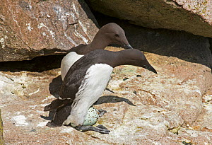 Common guillemot (Uria aalge) pair at nest, one about to incubate an egg while the other watches, Great Saltee island, Wexford, Ireland, June  -  Roger Powell