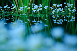 Common Water-Crowfoot (Ranunculus aquatilis) with reflections in water, June  -  Sandra Bartocha