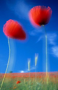 Common Poppy (Papaver rhoeas) flowers in cereal field, April - Sandra Bartocha