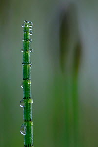 Water Horsetail (Equisetum fluviatile) close-up  with water droplets, Germany, May  -  Sandra Bartocha