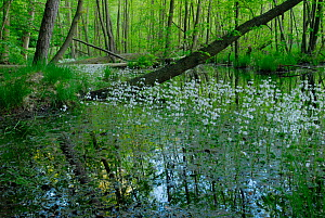 Common / Black Alder (Alnus glutinosa) trees in an Alder carr with Water Violet / Featherfoil (Hottonia palustris)in flower,  Muritz National Park, Germany, May  -  Sandra Bartocha