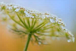 Wild carrot (Daucus carota) flower head with dew drops, June.  -  Sandra Bartocha