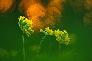 Cowslip (Primula veris) flowers, Brandenburger Vorstadt, Potsdam, Germany, April  -  Sandra Bartocha