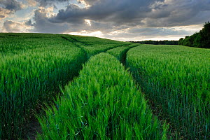 Vehicle tracks through a field of green barley, Jennyhof, Mecklenburg-Vorpommern, Germany, May  -  Sandra Bartocha