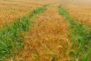 Field of ripe barley with green barley growing in vehicle tracks (Hordeum vulgare) Germany, July - Sandra Bartocha