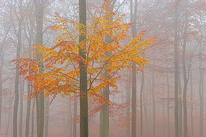 European Beech (Fagus sylvatica) woodland in the mist, Serrahn, Muritz National Park, Germany, World Natural Heritage Site, November - Sandra Bartocha