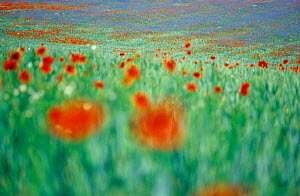 Common Poppy (Papaver rhoeas) flowers impression in field, Neubrandenburg, Mecklenburg Western Pommerania, Germany  -  Sandra Bartocha