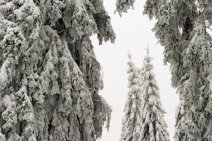 Norway Spruce (Picea abies) trees covered in frozen snow, Harz National Park, Brocken, Germany  -  Sandra Bartocha