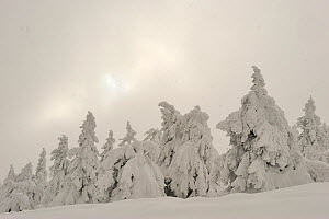 Norway Spruce (Picea abies) trees, covered with snow, Harz National Park, Brocken, Germany, February 2010  -  Sandra Bartocha