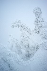 Norway Spruce (Picea abies) covered with snow, Harz National Park, Brocken, Germany, February 2010  -  Sandra Bartocha