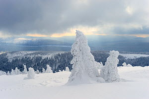 Norway Spruce (Picea abies) trees covered with snow, Harz National Park, Brocken, Germany, February 2010  -  Sandra Bartocha