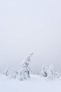 Norway Spruce (Picea abies) trees covered in snow, Harz National Park, Brocken, Germany, February  -  Sandra Bartocha