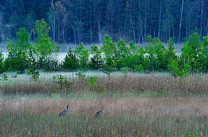 Common Crane (Grus grus) in wetland habitat, with mist woodland in background, Serrahnbruch, Muritz National Park, Germany, May  -  Sandra Bartocha