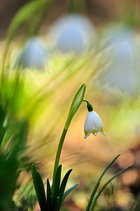 Spring Snowflake (Leucojum vernum) in flower,  Hungary, March  -  Sandra Bartocha