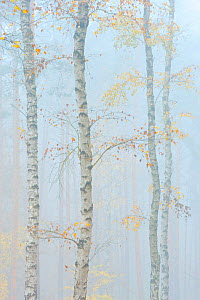 Downy / European white birch (Betula pubescens) trees in the mist, Waldstadt, Potsdam, Germany, November  -  Sandra Bartocha