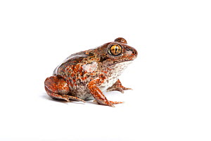 Common spadefoot toad, (Pelobates fuscus), captive, occurs Europe - Chris Mattison