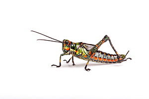 Ecuadorian lubber grasshopper (Chromacris psittacus pacificus), captive, occurs Ecuador.  -  Chris Mattison