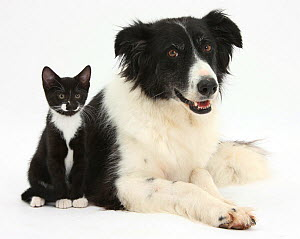 Black-and-white Border Collie bitch, with black-and-white tuxedo kitten, 10 weeks NOT AVAILABLE FOR BOOK USE  -  Mark Taylor
