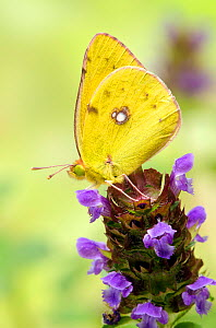 Clouded yellow butterfly (Colias crocea) on Self heal flower (Prunella vulgaris), captive, UK, July  -  Andy Sands