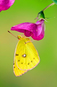 Clouded yellow butterfly (Colias crocea) On Wild sweet pea flower, Captive, UK, July  -  Andy Sands