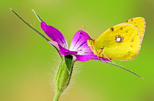 Clouded yellow butterfly (Colias crocea) On Corncockle flower (Agrostemma githago), Captive, UK, July  -  Andy Sands