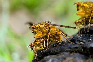 Yellow Dung Fly (Scathophaga stercoraria) Mating pair on sheep dung, Wales, UK, June  -  Andy Sands