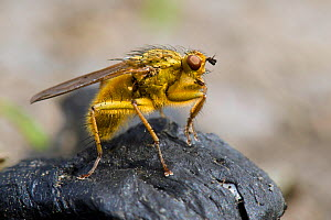 Yellow Dung Fly (Scathophaga stercoraria) On sheep dung, Wales, UK, June  -  Andy Sands