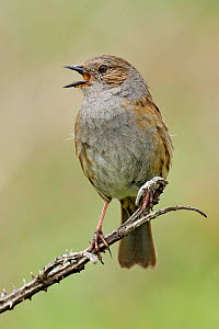 Dunnock (Prunella modularis) portrait of male singing, Cornwall, England, UK, May  -  Andy Sands