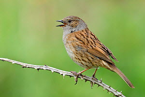 Dunnock (Prunella modularis) Male singing from dead bramble, Cornwall, England, UK, May  -  Andy Sands