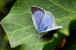 Holly Blue butterfly (Celastrina argiollus) On ivy leaf (Hedera sp) with wings open, Hertfordshire, England, UK, May  -  Andy Sands