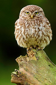 Little owl (Athene noctua) adult perched on dead tree, Hertfordshire, England, UK, June - Andy Sands