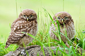 Little owl (Athene noctua) two chicks on tree stump, Hertfordshire, England, UK, June  -  Andy Sands